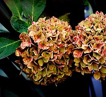 Dehydrated Hydrangeas by Michael May