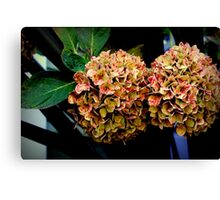 Dehydrated Hydrangeas Canvas Print