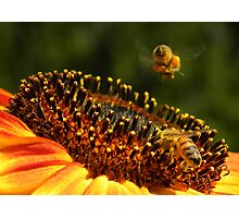 Bees on Sunflower Photographic Print