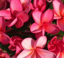 Pink frangipanis  Sticker
