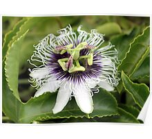 The intricate detail of the Passion Flower. Poster
