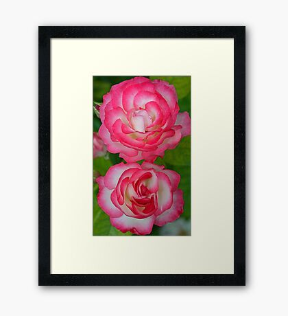 Two pink and white roses Framed Print