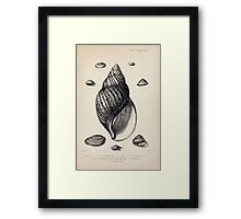 Proceedings of the Zoological Society of London 1848 - 1860 V5 Mollusca 042 Framed Print