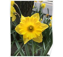 Daffodil Photo Poster