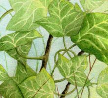 Ivy leaves on the vine Sticker