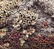 New Mexico Lichen on Desert Rock #1 by doorfrontphotos