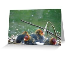 Coot chicks Greeting Card