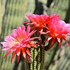 Blooming Torch Cactus by Kathleen Brant