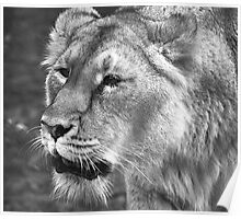 Portrait of a Lioness Poster
