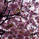 Blossoms High - Edinburgh Scotland by mikequigley
