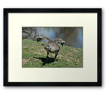 Angry young Canada Goose Framed Print