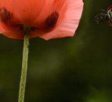 Couple Pink Oriental Poppies  Sticker