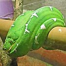 Emerald Tree Boa by Graeme  Hyde