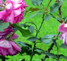 Pink roses in the garden. Sticker
