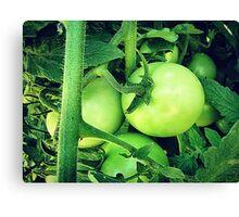 Plump Green Tomatoes Canvas Print