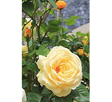 Peach rose. Photographic Print