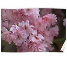 Cherry blossom. Poster