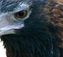 Wedge-tailed Eagle Sticker