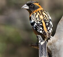 Black headed grosbeak by Linda Sparks