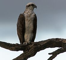 Osprey at dusk by mncphotography