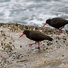 Sooty Oyster Catchers by mncphotography