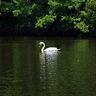 Mute Swan by Sandy Keeton