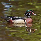 Wood Duck by Sandy Keeton