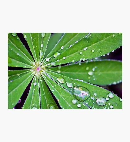 Lupin Leaf Photographic Print