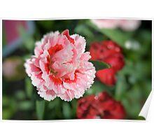 Pink Mini Carnation Poster