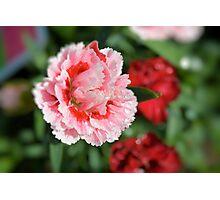 Pink Mini Carnation Photographic Print