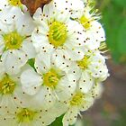 Little White Flowers by Shulie1
