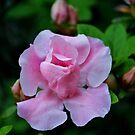 Raindrops On Pink Rose by Cynthia48