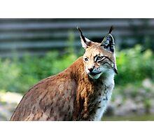 lynx cat Photographic Print