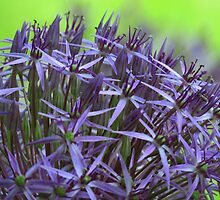 Allium in My Garden by lorilee