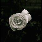 B&W rose by nicwise