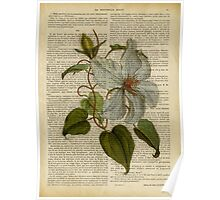 Botanical print, on old book page - flowers- White magnolia Poster