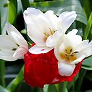 Red & White Tulips by AnnDixon