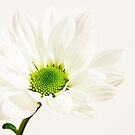 white petals by wendywoo1972