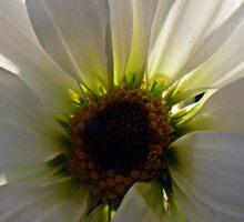 Backlit White Daisy Sticker