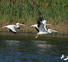 Three White Pelicans by TJ Baccari Photography