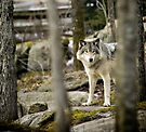 Timber Wolf Between the Trees by Yannik Hay