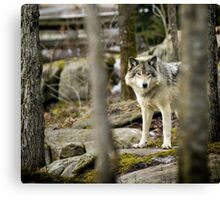 Timber Wolf Between the Trees Canvas Print