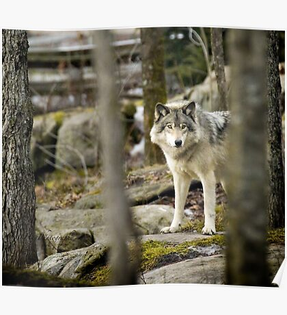 Timber Wolf Between the Trees Poster