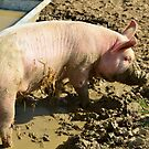 pig,caught, snout, trough by Stephen Frost