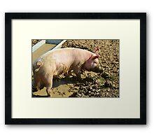 pig,caught, snout, trough Framed Print