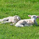 two lambs by Stephen Frost