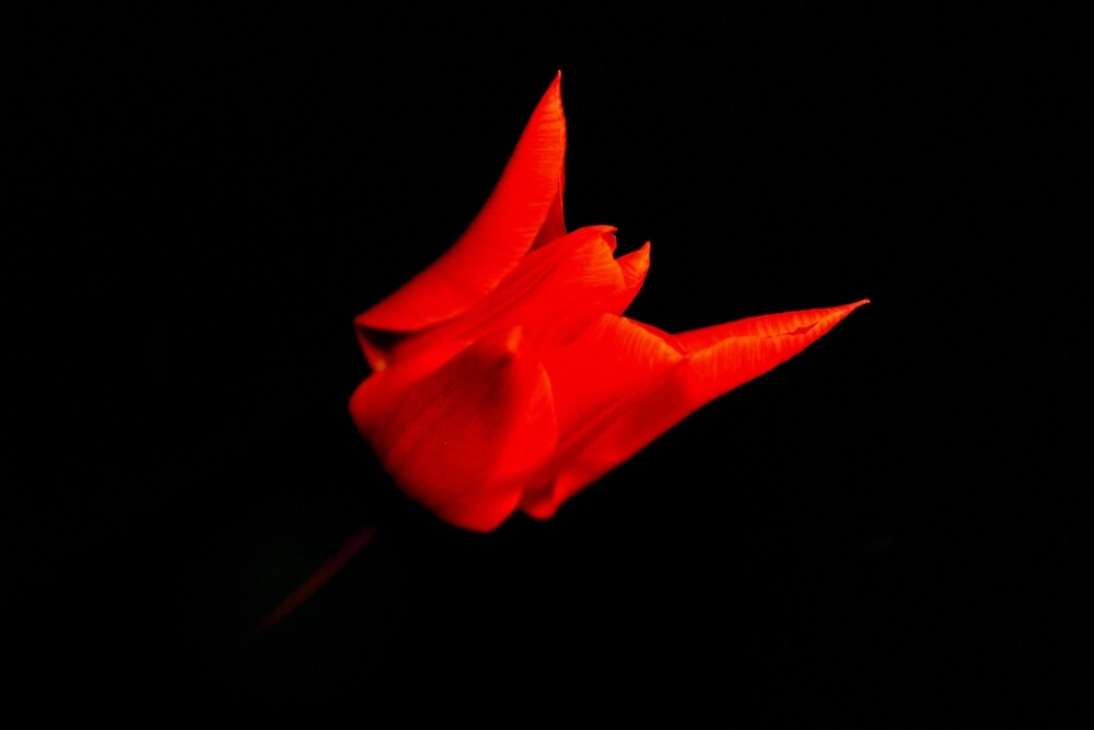 red tulip on black by Stephen Frost