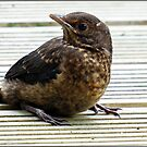 """"""" This Baby Blackbird was on our Decking this Morning"""" by Malcolm Chant"""