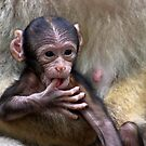 Baby Barbary Macaque by Jo Nijenhuis