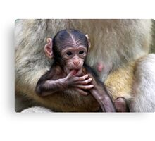 Baby Barbary Macaque Canvas Print